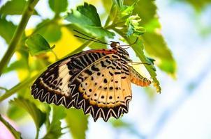borboleta botando ovos na folha verde foto