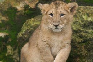 filhote de leão asiático masculino. foto