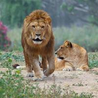 leões foto