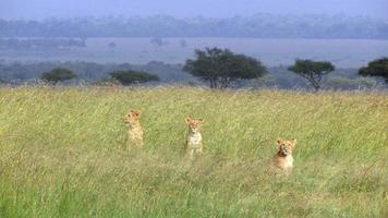 filhotes de leão na savana foto
