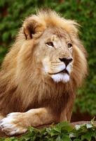 olhar do leão foto