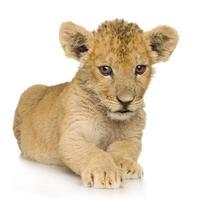 filhote de leão (3 meses) foto