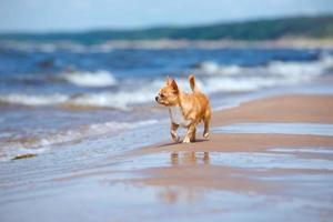 cachorro chihuahua vermelho adorável na praia foto