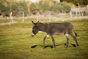 burro no palácio shey leh ladakh, Índia