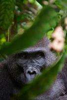 retrato de uma fêmea do gorila da planície ocidental foto
