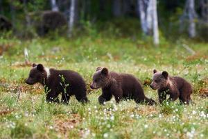 três filhotes de urso lindo foto