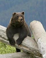 urso pardo do alasca foto
