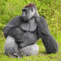 perfil de gorila foto