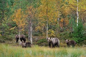 família urso pardo no outono foto