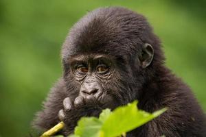 retrato de um jovem gorila da montanha foto