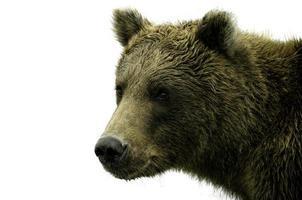 urso do Alasca em fundo branco foto