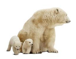 urso polar com filhotes. isolado sobre o branco foto