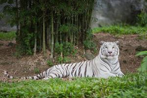 Tigre branco foto