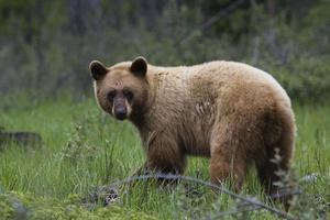 urso preto ambulante foto