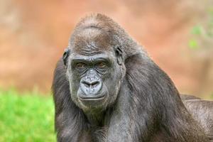 gorila da planície ocidental foto