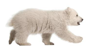 filhote de urso polar, ursus maritimus, 3 meses de idade