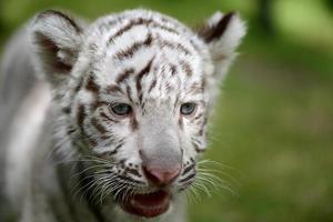 filhote de tigre branco enfrenta o foco na cabeça e nos olhos foto