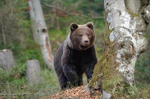 Urso foto