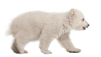 filhote de urso polar, ursus maritimus, 3 meses de idade, caminhando