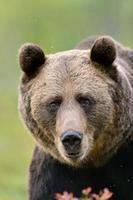 retrato de urso pardo foto