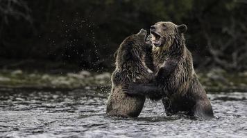 estilo abraço urso pardo foto