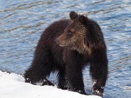 filhote de urso pardo na neve na praia foto