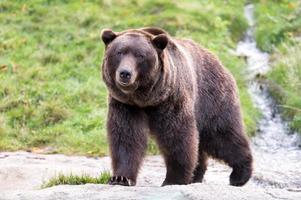 urso pardo caminhando em direção à câmera foto