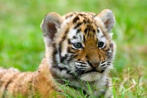 filhote de tigre siberiano bonito foto