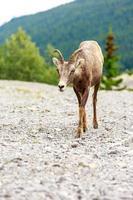 cabra da montanha canadense foto