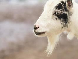 retrato de uma cabra pigmeu foto