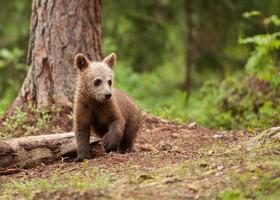 filhote de urso-pardo (ursos arctos) foto