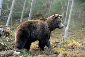 grande urso na floresta foto