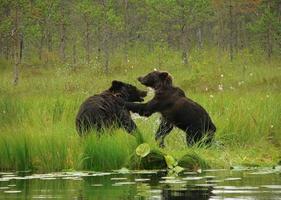 casal af ursos foto