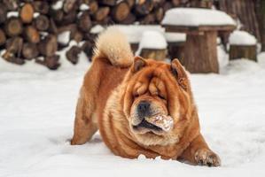 cão chow jogador foto