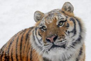 cara de tigre foto