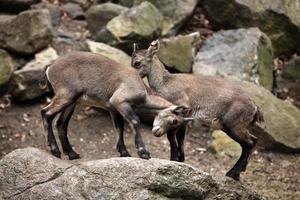 íbex alpino (íbex capra). foto