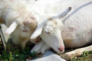 adorável casal de cabra foto