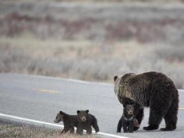 urso pardo e filhotes atravessam a rua foto