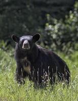 porca de urso preto foto