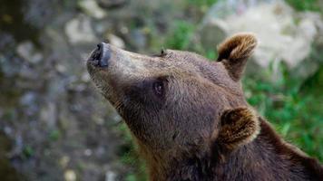 cabeça de urso foto