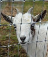 cabra anã nigeriana atrás da cerca foto