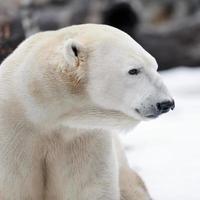 perfil de urso polar foto