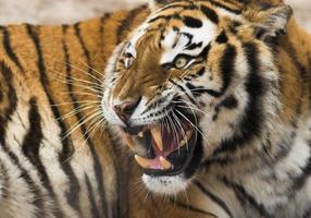 rugindo tigre foto