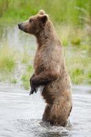 urso pardo do Alasca nas patas traseiras foto