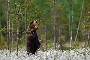 urso pardo em pé