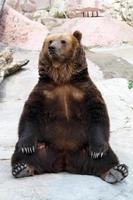 Urso marrom foto