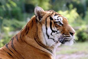 retrato de tigre foto