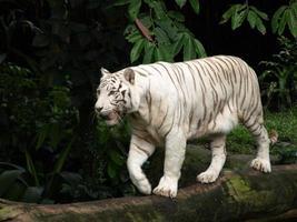 tigre branco andando no tronco de árvore
