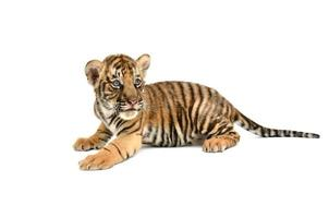 bebê tigre de bengala foto
