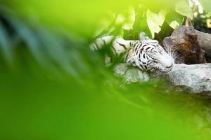 tigres brancos foto